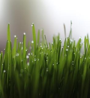 Wheatgrass - Organic