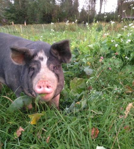 Local Heritage Pork Share