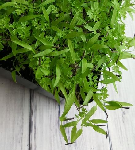 Chervil Microgreens