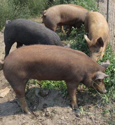 Whole Heritage Pig