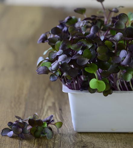 Purple Sango Radish Microg