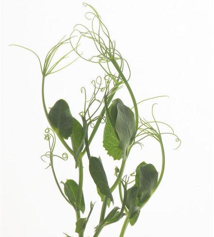 Pea Tendril Microgreens
