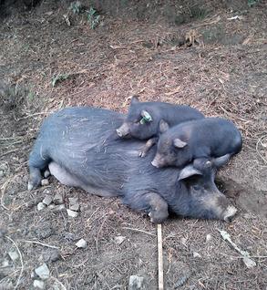 Pig (AGH)