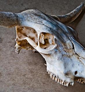 Scottish Highland skulls