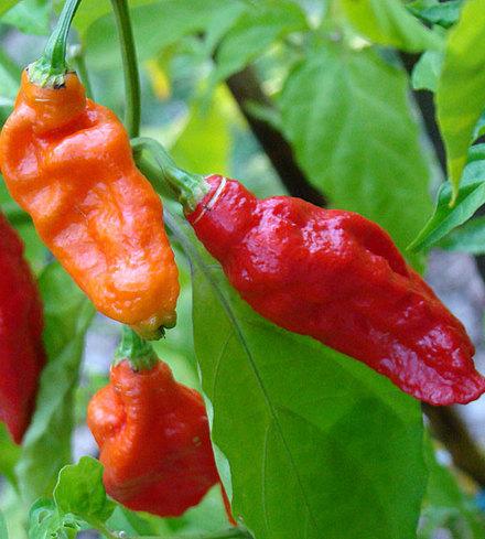 Bhut Jalokia Pepper