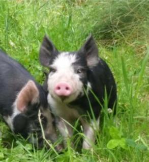 Berkshire cross weaner pig