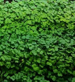 Microgreens - Kale