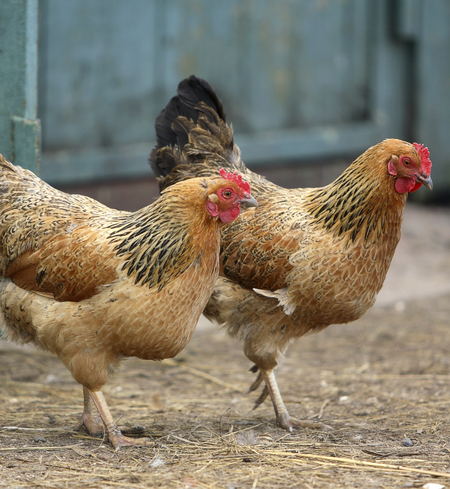4-6 Month Layer Hens