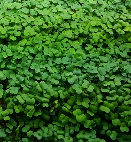 Microgreens - Broccoli