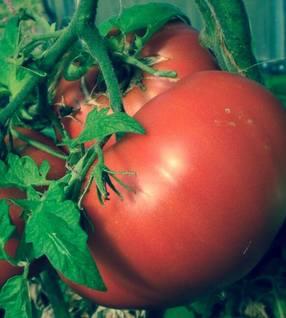 Geronimo tomato