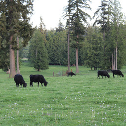 Silver Creek Angus