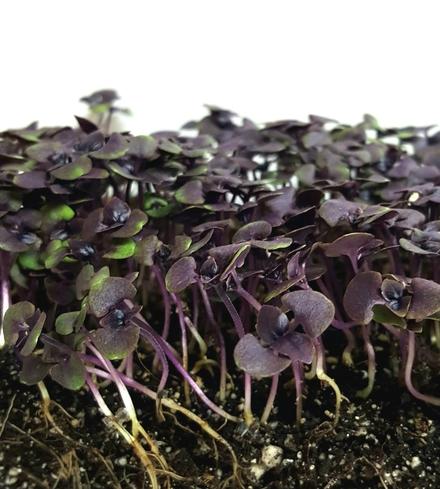 Basil (Purple) Microgreens