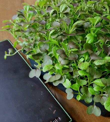 Longevity Mix Microgreens