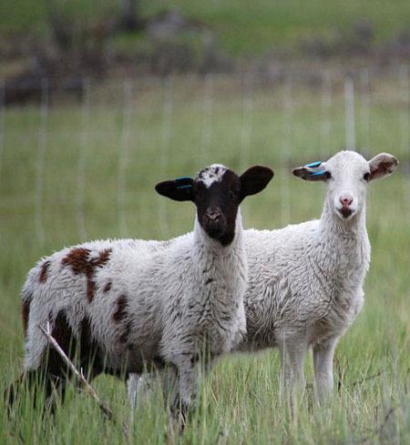 Whole Katahdin Lamb