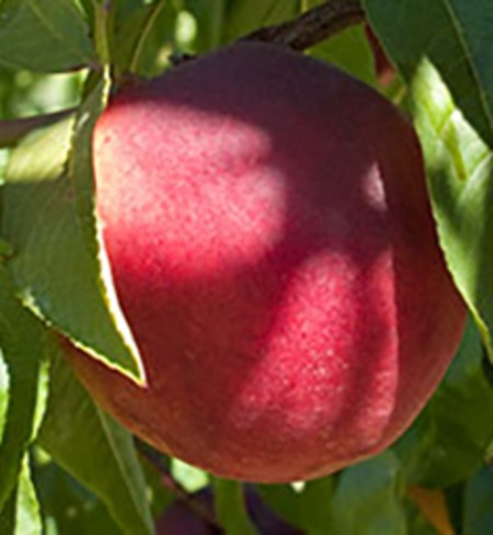 Red Gold Nectarines