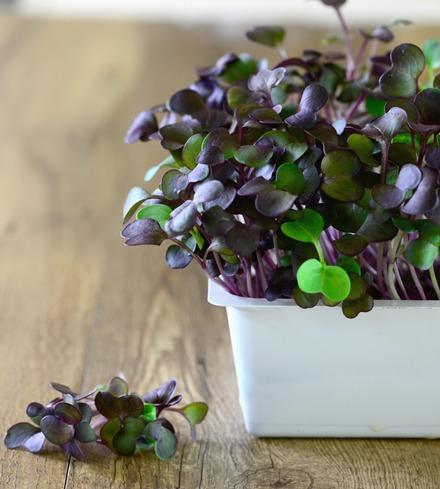 Radish, Purple Microgreens