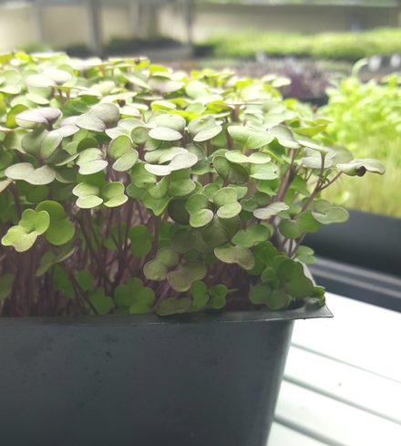 Kale (Red) Microgreens