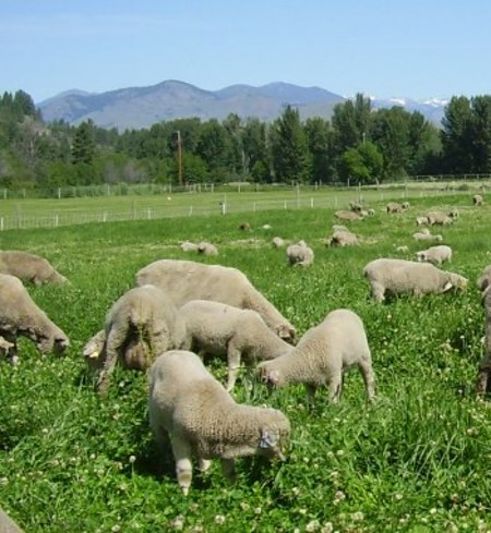 half Lamb - Stef Woods