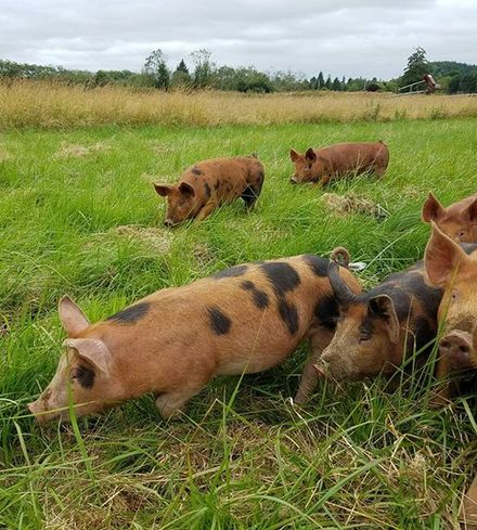 Pastured Pork Liver