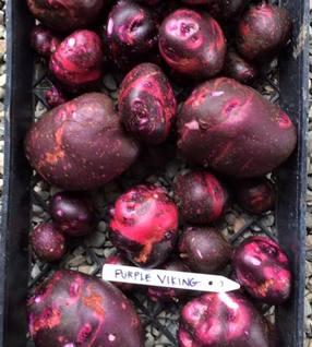 Potatoes - Purple Viking