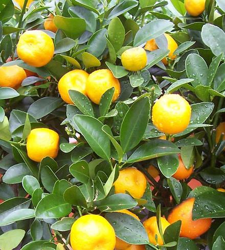 Texas Organics Oranges