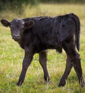 Calf (Angus cross, Female)