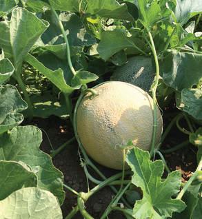 S. Texas Melon