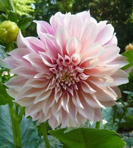 "Dahlias +6"" blooms"