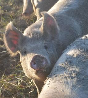 Boston Butt Pork Primal