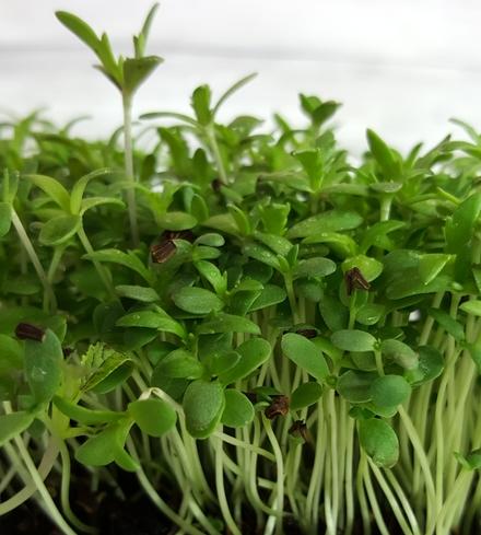 Shungiku (Chrysanthemums)