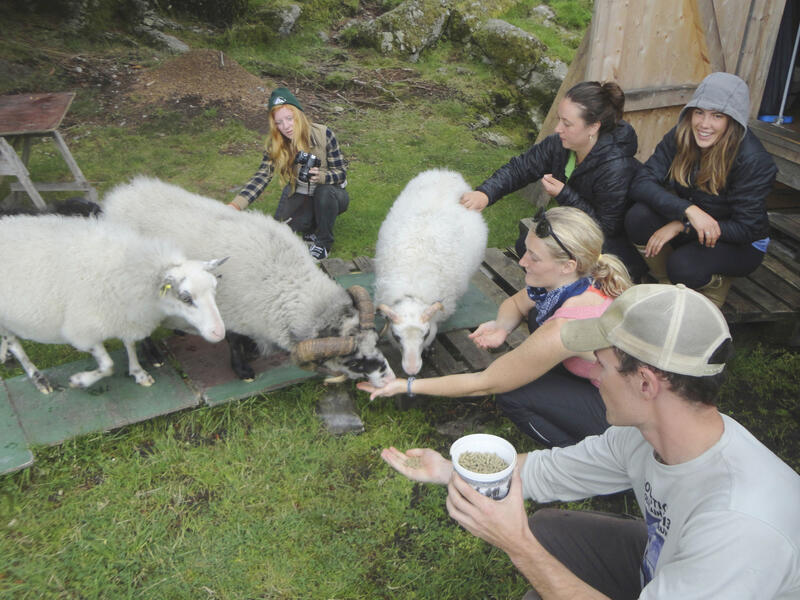 Feeding Viking Sheep on Litle Faerøy, Norway  - Photo by Doug Hulmes
