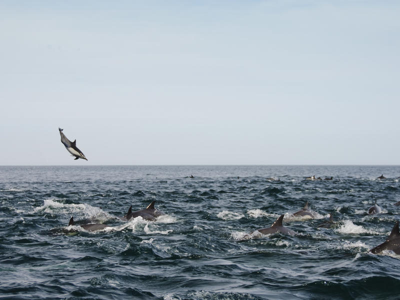 Leaping Common Dolphins - Photo by Naomi Blinick