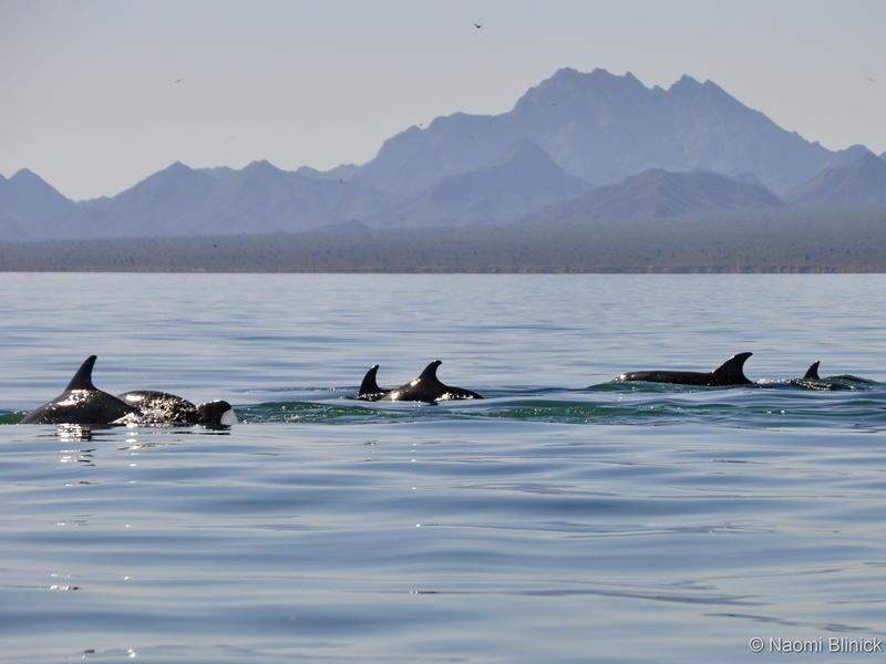 Bottlenose Dolphin pod - Photo by Naomi Blinick