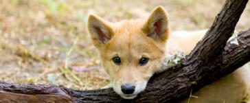 Dingo Dash Fun Run/Walk registration logo