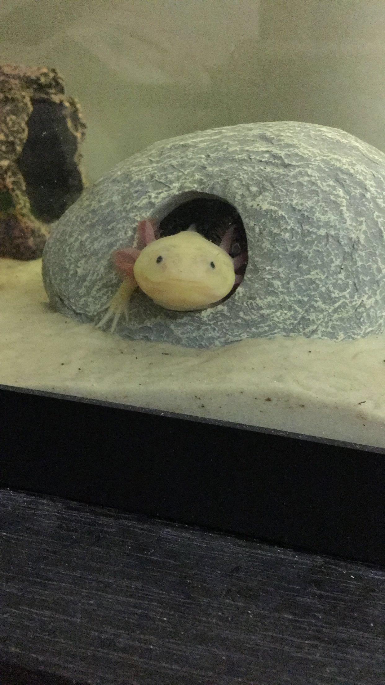 Sammi's Axolotls