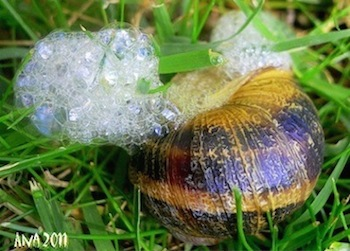 natural skin care lotion naturally occurring snail secretions escargot
