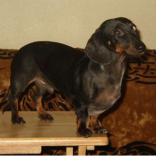 Alex the dachshund