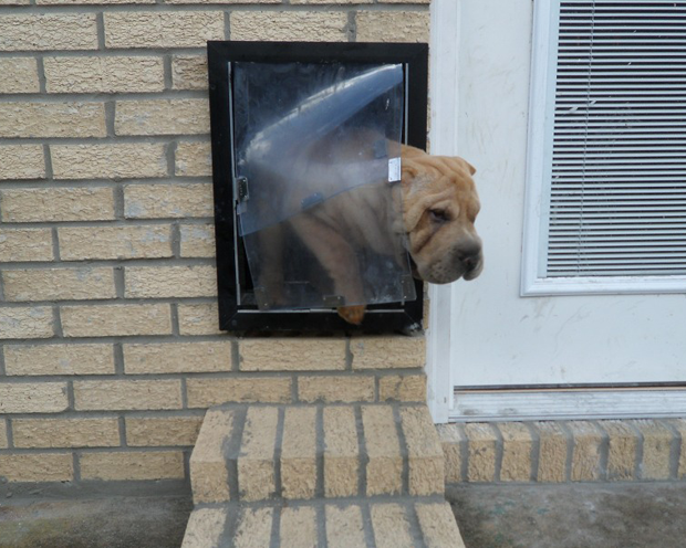Butters, a Shar-Pei from Gulfport, Mississippi