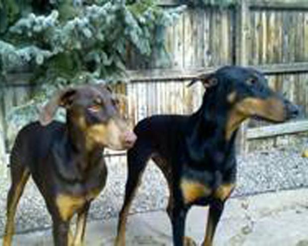 Misha and Coda, Dobermans in Greenwood Village, Colorado