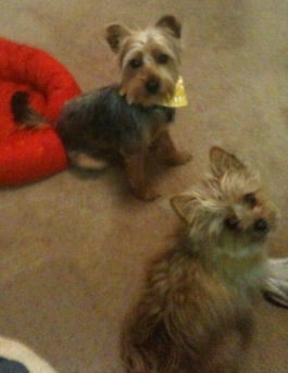 Audrey and Myles, terriers from Waxhaw, North Carolina