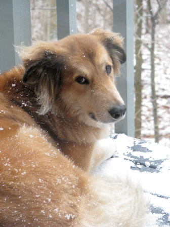 Beau, a collie from West Lafayette, Indiana
