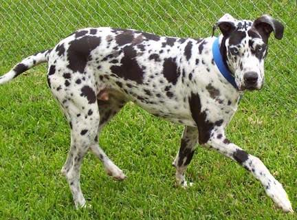 Rocky, a Great Dane from San Antonio, Texas