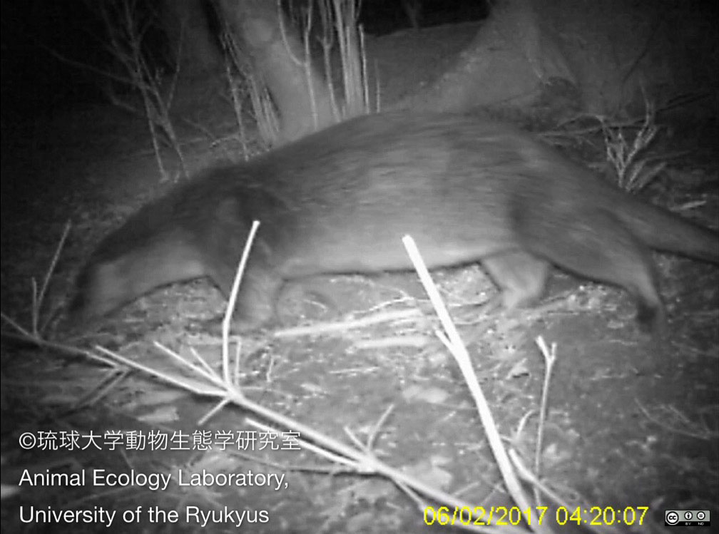 Otter pictured in Japan, 1st sighting in 38 yrs