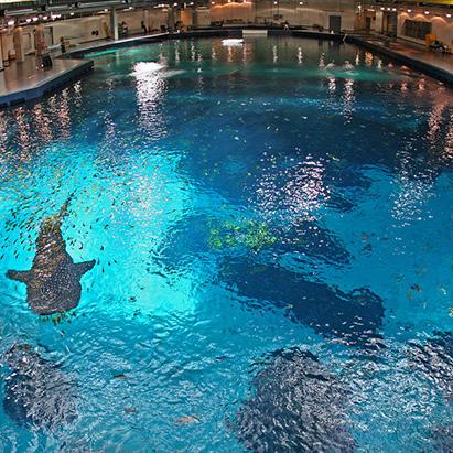 Dive GA Aquarium with the Whale Sharks