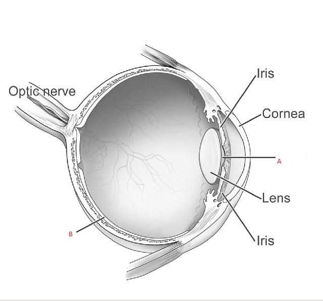 Structure of human eye parts of the human eye cornea sclera lens which of the following options correctly represent the parts a and b respectively in the given figure ccuart Gallery