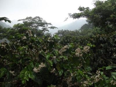Citymax vende finca de cafe en Ataco, Ahuachapan