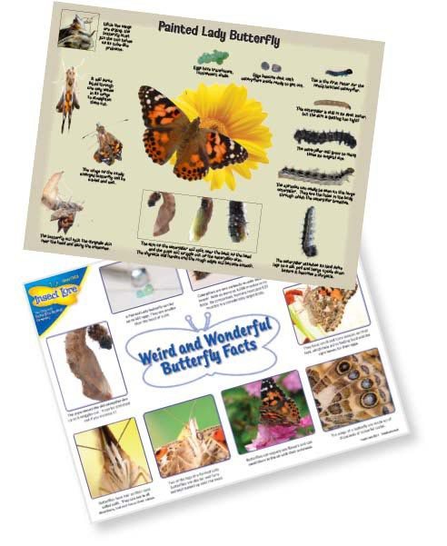 Painted Lady Detailed Life Cycle Poster