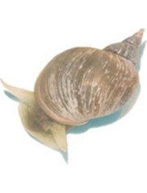 Live Pond Snails
