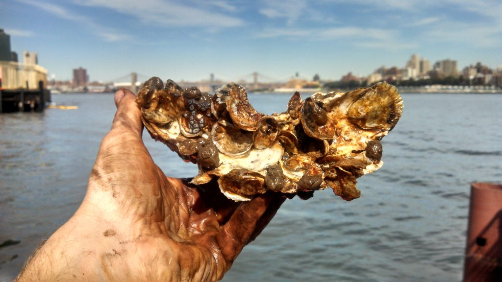 Photo: New York's Billion Oyster Project.
