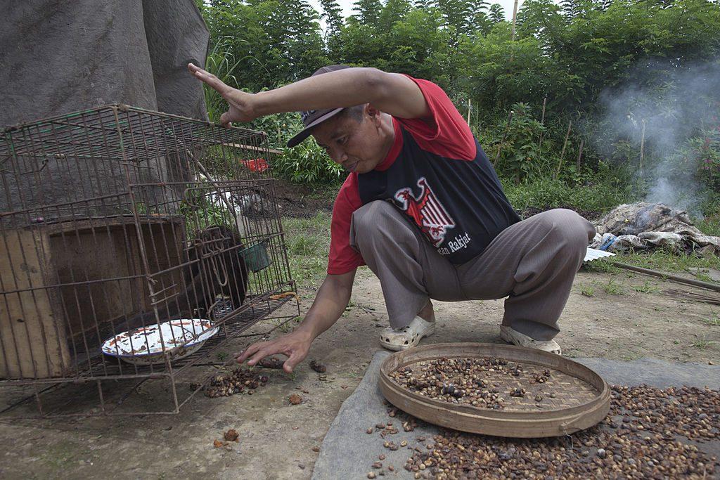 Civet Poop
